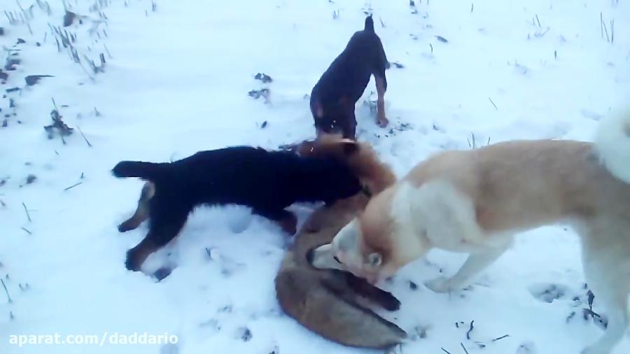 کشتن یک گرگ توسط سه سگ وحشی