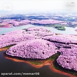 شکوفه های گیلاس خیره کننده و بهاری در چین