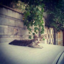 گربه ی آرام