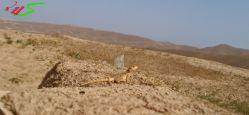 سمندر (تپه باستانی زیویه سقز کردستان)