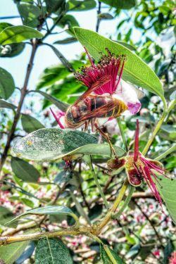 زنبور و درخت فوجیا