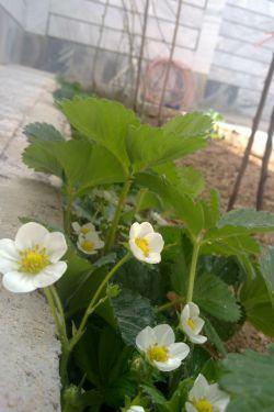 حیاط خونه ما و شکوفه های توت فرنگی