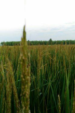 برخی معایب برنج خارجی: به دلیل ماندگاری  بیشتر، برنج را در فرآیند تبدیل شلتوک به برنج جوش می دهند که ویتامینها و املاح معدنی آن را به شدت تخریب می کند و در نتیجه برنج تنها دارای نشاسته میباشد. با توجه به اینکه برنج یکی از وعده های اصلی غذایی مردم ایران است باید دارای حداقل مقادیر ویتامین و املاح باشد.