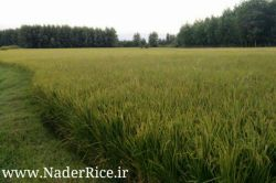 کشت مکانیزه زمین های کشاورزی برنج نادر. برنج تولید شده در کشت مکانیزه با کشت سنتی از نظر کیفیت محصول هیچ تفاوتی ندارد.