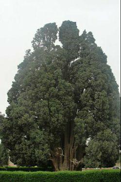 سرو ابرکوه با عمر تقریبی ۴۰۰۰ سال (به گفتی برخی منابع 2500 سال تخمین زده اند[۱]) به عنوان پیرترین درخت ایران و احتمالاً آسیا و سومین درخت پیر جهان به حساب میآید.[۲] سَرْو اَبَرکوه یکی از آثار طبیعی ملی ایران