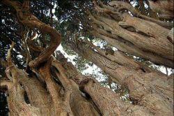 بیشتر درختان کهن استان یزد بین 800 تا 1500 سال عمر دارند و سمبلی از مقاومت و پایداری مردم کویرنشین در برابر شرایط نامساعد آب و هوایی هستن