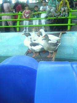 اردک های پارک بانوان خوی