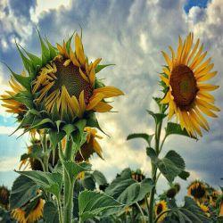 خدای من ...! گلهای آفتاب گردان ...  در روزهای ابری بلاتکلیفند ،  مثل من و روزهای بی تو بودن ...! هیچ روزی را بدون حمایت بی دریغت  برایم رقم نزن ...!!!