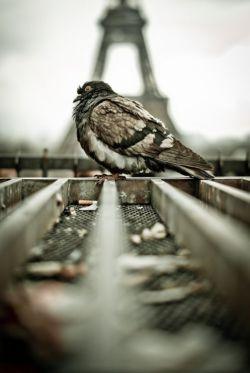 سـرنوشــتم به بال کـبوترهـا گـره خـورده ؛   سـنگـے مـے زنند . . .    یکـے مـے مــیرد _   باقے تا آخـر عمــر   قلبشان تندتر مـے زند ...     (سـعید برآبادے)