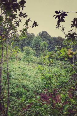 طبیعت بکر..باغ چایی و درخت سیب ترش..عالی