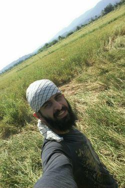 برداشت برنج از شالیزارهای شمال