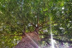 تنه درخت زیبا از انتهاش به بالا عکس گرفتم..سایه خوبی داشت؛)  مانند درخت مهربان می شوی و بی آزار ...  اگر یکی از چشمانت به تنومندی و برگ و بارت باشد و به بهار  و چشم دیگرت به هیزم شکن و خزانی که از آن فراری نیست ...