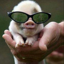 خوک کوچلوی با نمک :)