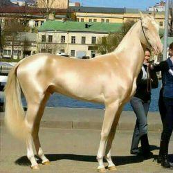 زیبا ترین اسب جهان