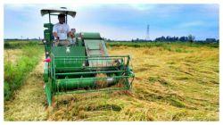 برداشت برنج در شالیزارهای برنج نادر در گیلان