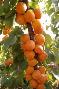 زردالو خوشه ای#نهالستان پارس#ایران درخت#کانال تلگرام @parstree