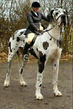 بزرگ ترین سگ دنیا