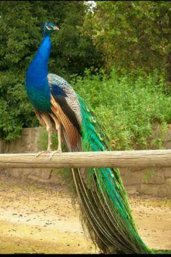 پر طاووس قشنگ هست به کرکس ندهند!!!!!!