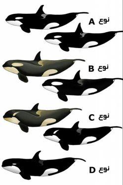 انواع شناخته شده نهنگ قاتل