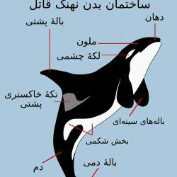 ساختمان بدن نهنگ قاتل