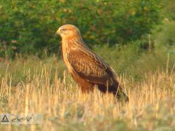 پرنده ی شکاری  در سه وجه  : عکس از امین مداحیان (عابر مسلح)