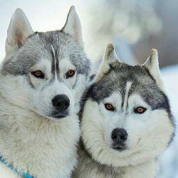 تقدیم به اونی که عاشق گرگه (: