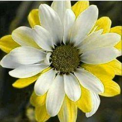این گل زیبا تقدیم بشما دوستان عزیز وگرامی لنزوری