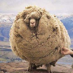 میگن این گوسفنده برای اینکه پشماشو نچینن فرار کرده رفته تو غار پنج سال اونجا بوده خخخخخخخخخخ یاده شاخایه حالایی افتادم ک وقتی بچه بودن نمیذاشتن مامانشون حمومشون کنه خخخخخخخخ