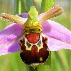 گل زنبور خندان