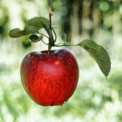 آن سیب از آن روز ازل قسمت ما بود  تقــدیر چنین بود کــــه آن سیب بچینیم