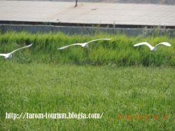 پرندگان مهاجر شالیزارهای طارم
