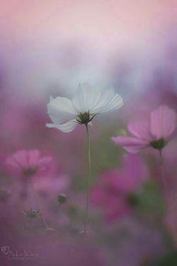 سفید ، صورتی ، یاسی  گلهای مهربون و زیبا
