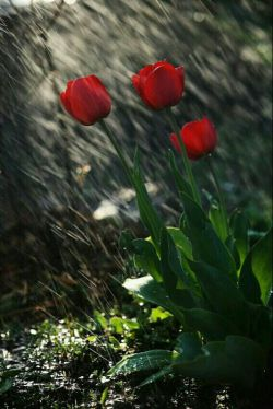 لاله های سرخ باران