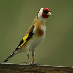 اینم یه پرنده زیباو جذاب. . .اسم فارسیشو نمیدونم ولی تو ترکی بهش سیره گفته میشه. . .امیدوارم خوشتون بیاد. . .