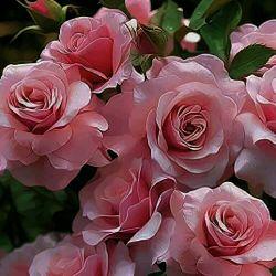 این شعر فوق العادست........  خار خندید و به گل گفت سلام و جوابی نشنید خار رنجید ولی هیچ نگفت ساعتی چند گذشت گل چه زیبا شده بود دست بی رحمی نزدیک آمد، گل سراسیمه ز وحشت افسرد لیک آن خار در آن دست خلید و گل از مرگ رهید صبح فردا که رسید خار با شبنمی از خواب پرید گل صمیمانه به او گفت سلام...  گل اگر خار نداشت دل اگر بی غم بود اگر از بهر كبوتر قفسی تنگ نبود، زندگی، عشق، اسارت، قهر و آشتی، همه بی معنا بود . . . .  (فریدون مشیری)  تقدیم به همه ی آدمهای مهربون