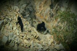 جیرفت.خرس سیاه آسیایی.ارتفاعات بحرآسمان و دلفارد ساردوئیه.