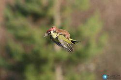 یک راسوی کوچک سوار بر دارکوب تا پرواز را تجربه کنه ؟گرفتن این عکس جالب داخل پارکی در لندن