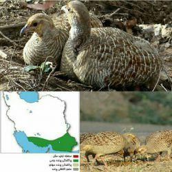 مرغ جیرفتی(کمنزیل)