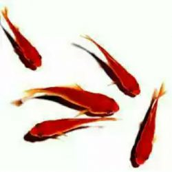 ماهی ها رسم قشنگی دارند.....    آنها ﻧﻪ ﮔﺮﯾﻪ ﻣﯽ ﮐﻨﻨﺪ ، ﻧﻪ ﻗﻬﺮ ﻭﻧﻪ ﺍﻋﺘﺮﺍﺽ !!! ﺗﻨﻬﺎ ﮐﻪ ﻣﯽ ﺷﻮﻧﺪ ﻗﯿﺪ ﺩﺭﯾﺎ ﺭﺍ ﻣﯽ ﺯﻧﻨﺪ ... ﻭ ﺗﻤﺎﻡ ﻣﺴﯿﺮ ﺭﻭﺩﺧﺎﻧﻪ ﺭﺍ ﺗﺎ ﺍﻭﻟﯿﻦ ﻗﺮﺍﺭ ﻋﺎﺷﻘﯽ ﺷﺎﻥ، ﺑﺮﻋﮑﺲ ﺷﻨﺎ ﻣﯽ ﮐﻨﻨﺪ !!