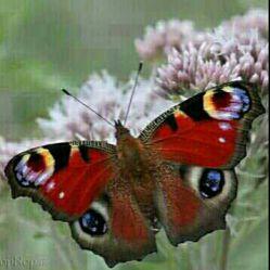 سلام..روزتون به قشنگی وآرومی پروانه...دوستان گلم و همشهریان عزیز..