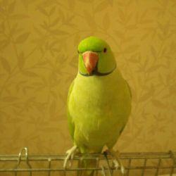 این عزیز منه پرنده باهوش و دوست داشتنیم