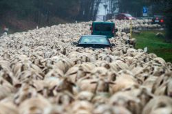 بزرگتری راهپیمایی گوسفندان
