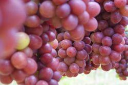 انگور رد گلوب#Red Globe Grape#نهالستان پارس#مهندس زردادی