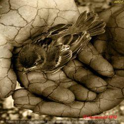 خیال دلکش پرواز در طراوت ابر....به خواب می ماند.....پرنده درقفس خویش .....خواب می بیند....پرنده در قفس خویش .....به رنگ وروغن تصویر باغ می نگرد ....پرنده می داند....که باد بی نفس است وباغ بی تصویر است .....پرنده در قفس خود خواب می بیند...