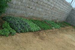 اینم سبزی که خودم کاشتم خیلی عالی شده چند نمونه