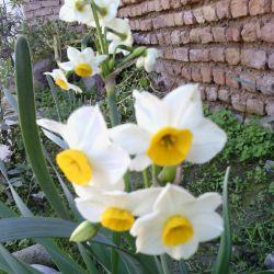 گلای نرگس حیاطمون