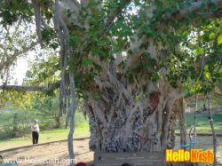 درخت سبز کیش www.roshanygasht.ir