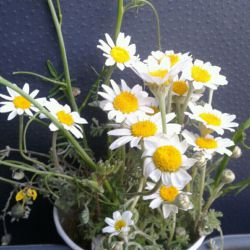 گلهای بابونه