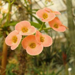 گل نوعی کاکتوس