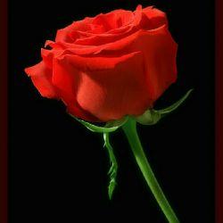 یک شاخه گل برای نگاه زیبای تودوست خوبم هرچندبرای دیدارتو عزیزیک باغ گل نیز گم است